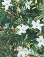 Домашнее растение Жасмин