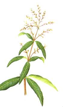 Домашнее растение Алоизия