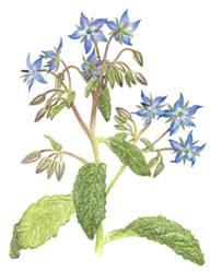 Домашнее растение Бораго
