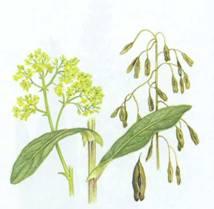 Домашнее растение Вайда