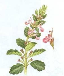 Домашнее растение Дубровник