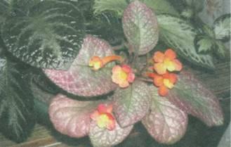 Домашнее растение Эписция