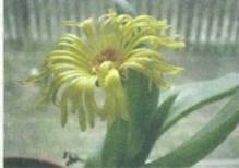Домашнее растение Глоттифиллум