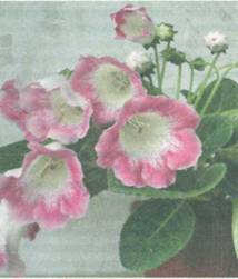 Домашнее растение Олеандр