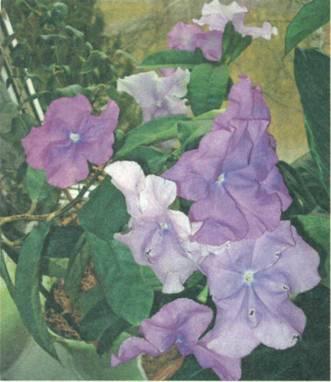 Домашнее растение Брунфельсия