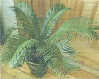 Домашнее растение Цикас