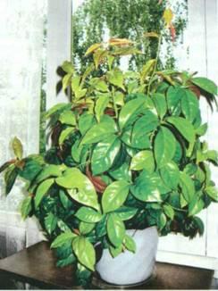 Домашнее растение Переския