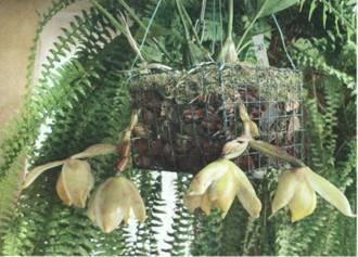 Домашнее растение Стангопея