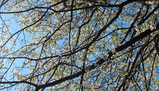 Какие бывают формы яблоневых деревьев