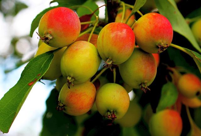 Яблоневые шпалеры на стене: обрезка