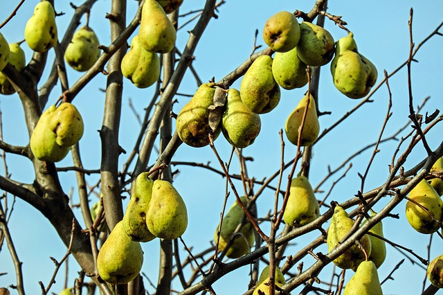 Низкоствольные грушевые деревья: обрезка