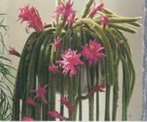 Апорокактус мартианус