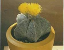 Домашнее растение Астрофитум