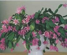 Домашнее растение Рипсалидопсис