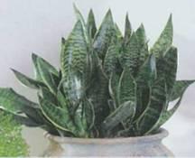 Домашнее растение Сансевиерия трехполосая