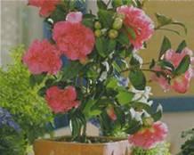 Домашнее растение Камелия японская