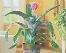 Домашнее растение Эхмея полосатая