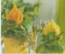 Домашнее растение Целозия серебристая