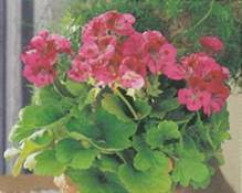 Домашнее растение Пеларгония крупноцветковая