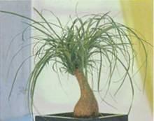Домашнее растение Нолина отогнутая