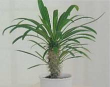 Домашнее растение Пахиподиум