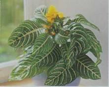 Домашнее растение Афеландра оттопыренная