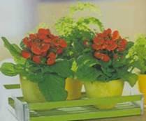 Домашнее растение Кальцеолярия гибридная