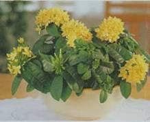 Домашнее растение Иксора