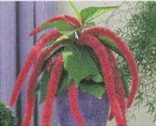 Домашнее растение Акалифа