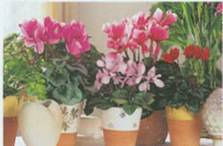 Домашнее растение Цикламен персидский