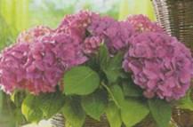 Домашнее растение Гортензия