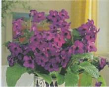 Домашнее растение Стрептокарпус