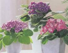 Домашнее растение Сенполия фиалковая