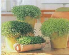 Растение Солейролия