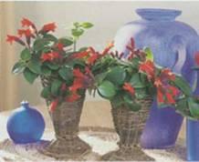 Домашнее растение Эсхинантус лучистый