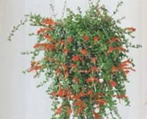 Домашнее растение Колумнея