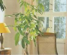 Домашнее растение Пахира