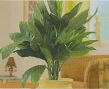 Арека Катеху, Бетелевая пальма