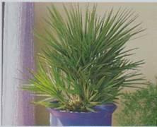 Хамеропс приземистый, карликовая пальма