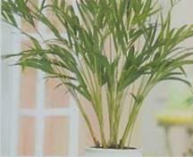 Домашнее растение Хризалидокарпус желтоватый