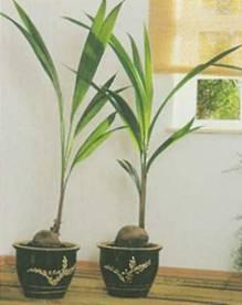 Домашнее растение Кокос орехоносный