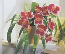 Домашнее растение Мильтония