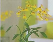 Домашнее растение Онцидиум