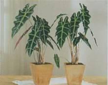 Домашнее растение Алоказия