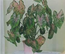 Домашнее растение Каладиум