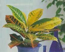 Домашнее растение Кодиеум пестрый