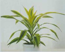 Домашнее растение Кордилина