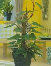 Домашнее растение Филодендрон