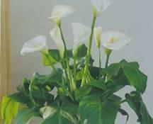 Домашнее растение Зантедехия