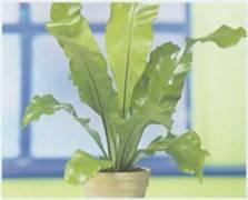 Домашнее растение Асплениум